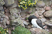 Razorbill (Alca torda) adult looking is egg in a cliff, Fowlsheugh Cliffs, Scotland