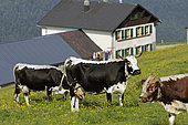 Vaches de race Vosgienne, Route des Crêtes, ferme-auberge du Huss, chaumes en été, Hautes-Vosges, Alsace, France