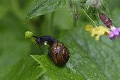 Copse snail (Arianta arbustorum), snail eating a flower of Buttercup, massive Balloon Servance, Plancher-les-Mines, Haute-Saone, France