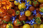 Récolte de Tomates cerises (Solanum lycopersicum), fleurs de Bourrache (Borago officinalis) et Souci (Calendula officinalis) dans un panier pour salade, Jardin potager, Territoire de Belfort, France