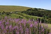 Fireweed (Epilobium augustifolium))and Vosges cows, Ridge Road in the summer to Le Hohneck, Hautes-Vosges, France