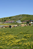 Cows in summer, summit of Markstein, Hautes-Vosges, Alsace, France