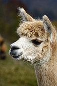 Young Alpaca (Lama pacos), breeding llamas and alpacas, Lamas Mountain, La Bresse, Vosges, France