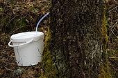 Harvest of birch sap on a trunk in spring, Berchigranges Garden, Granges-sur-Vologne, Vosges, France