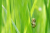 Jeune Rainette verte (Hyla arborea) venant de sortir d'une mare. Prairies du Fouzon. Touraine. France.