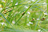 Young Tree Frogs (Hyla arborea) coming out of a pond. Prairies of the Fouzon. Touraine. France.