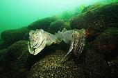 European common cuttlefish (Sepia officinalis) mating on bottom, Hossegor, France, Atlantic Ocean