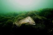 European common cuttlefish (Sepia officinalis) on bottom, Hossegor, France, Atlantic Ocean