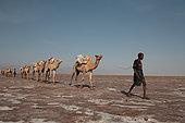 Camel caravan carrying salt from the mines in Danakil, Ethiopia