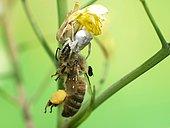 Araignée citron (Misumena vatia) ayant capturé une Abeille à miel (Apis mellifera) sur une tige d'Asphodèle fisluleux (Asphodelus fistulosus). Notez la petite Mouche parasite prête à pondre dans l'Abeille capturée.