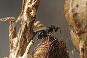 Eurytomidae (Aximopsis collina) laying on Aspodel capsule (Asphodelus sp)