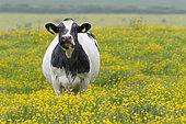 Cattle (Bos taurus domesticus) standing amongts buttercup in spring, England