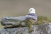 Fulmar (Fulmarus glacialis) aying on a wall, Shetland