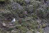 Fulmar (Fulmarus glacialis) amongst flowers, Shetland