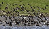 Great skuas (Stercorarius skua) taking off water, Shetland