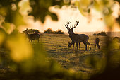 Red deer (Cervus elaphus) on the crest of a hill at sunset, in Autumn, England