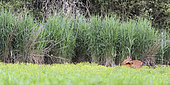 Roe deer (Capreolus capreolus) and Common Robin (Erithacus rubecula) in the Reeds (Phragmites australis) and Celery-leaved buttercup (Ranunculus sceleratus) in Flowers, Ménestreau-en-Villette, Loiret, Center of Loire Valley, France