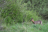 Roe deer (Capreolus capreolus) near an hedge in spring, Ménestreau-en-Villette, Loiret, Region Center Loire Valley, France