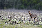 Roe deer (Capreolus capreolus) in a field of Maize (Zea mays) in spring, Ménestreau-en-Villette, Loiret, Region Center Loire Valley, France