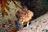 Tompot Blennie (Parablennius gattorugine), Seven Islands Nature Reserve, Brittany, France Atlantic Ocean
