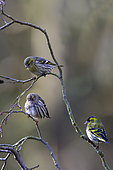 Siskin (Spinus spinus) Male, female and juvenile on a branch of Alder in winter, Country garden, Lorraine, France