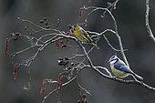 Siskin (Spinus spinus) and Blue Tit (Cyanistes caeruleus), On a branch of Alder in winter, Country garden, Lorraine, France