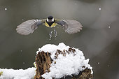 Great Tit (Parus major), Flying to the manger in winter, Country Garden, Lorraine, France