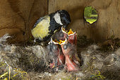 Great Tit (Parus major), Adult feeding her chicks with a larva in a nest box, Spring garden in the spring, Lorraine, France