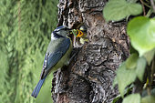 Blue Tit (Cyanistes caeruleus), Adult with larva in nest feeding a chick in spring, Country garden, Lorraine, France