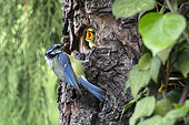 Blue Tit (Cyanistes caeruleus), Set with larva in the beak to the nest in spring, Country garden, Lorraine, France