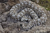 Spider-tailed horned viper (Pseudocerastes urarachnoides), Zagros Mountains, Ilam Province, Iran