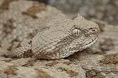 Portrait of False Horned Viper (Pseudocerastes fieldi or Pseudocerastes persicus). Snake living in the same habitat as Spider-tailed horned viper (Pseudocerastes urarachnoides), Zagros Mountains, Ilam Province, Iran.