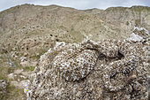 Spider-tailed horned viper (Pseudocerastes urarachnoides) on rock, Zagros Mountains, Ilam Province, Iran