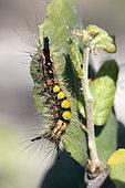Rusty Tussock Moth (Orgyia antiqua), Caterpillar on a leaf in spring, Plaine des Maures, near Vidauban, Var 83, France