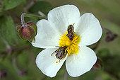 Sage-leaved Rock Rose (Cistus salviifolius) with Oxythyrea (Oxythyrea funesta) and Red checkered beetle (Trichodes sp) in spring, Hill of Massif des Maures, Var 83, France