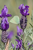 Green Hairstreak (Callophrys rubi) foraging a flower of French Lavender in spring, Massif des Maures, Hyères surroundings, Var 83, France
