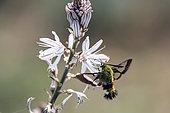 Broad-bordered Bee Hawk-Moth (Hemaris fuciformis), Foraging of asphodel flowers in spring, Massif des Maures surroundings of Hyères, Var 83, France