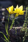 Wild Tulip (Tulipa sylvestris) In bloom in spring, Plaine des Maures surroundings of Vidauban, Var 83, France