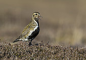 Golden plover (Pluvialis apricaria) amongst heather and calling, Shetland