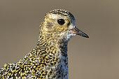Golden plover (Pluvialis apricaria) head details, Shetland