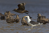 Great black-backed gull (Larus marinus) standing in water with Great Skuas (Stercorarius skua), Shetland