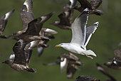 Great black-backed gull (Larus marinus) in flight with Great Skuas (Stercorarius skua), Shetland