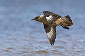Great skua (Stercorarius skua) in flight above water, Shetland