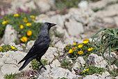 Jackdaw (Corvus monedula) on rocks and yellow flowers, Algarve, southern Portugal