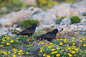 Choughs (Pyrrhocorax pyrrhocorax) on ground and yellow flowers in spring, Algarve, southern Portugal