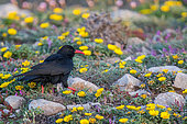 Chough (Pyrrhocorax pyrrhocorax) on ground and yellow flowers in spring, Algarve, southern Portugal