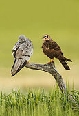 Montagu's Harrier (Circus pygargus) couple on a branch, Spain