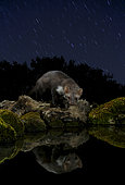 Marten (Martes foina) and its reflection under the stars, Spain