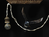 Black Redstart (Phoenicurus ochruros) flying away an electrical wire, Spain