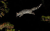 Common Genette (Genetta genetta) jumping from branch to branch at night, Spain